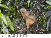 Купить «Red-collared Brown Lemur (Eulemur collaris) female, Nahampoana Reserve, South Madagascar, Africa», фото № 25219476, снято 22 сентября 2018 г. (c) Nature Picture Library / Фотобанк Лори