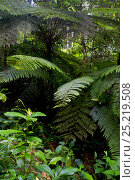 Купить «Tree fern (Cyathea manniana) in the Atewa forest reserve, Ghana.», фото № 25219508, снято 16 июля 2018 г. (c) Nature Picture Library / Фотобанк Лори