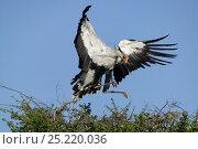 Secretary bird (Sagittarius serpentarius) building nest, Masai-Mara Game Reserve, Kenya. Стоковое фото, фотограф Denis-Huot / Nature Picture Library / Фотобанк Лори