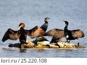 Купить «Cormorants (Phalacrocorax carbo) 'wing drying' Radipole lake, Weymouth, Dorset, UK. March 2013», фото № 25220108, снято 19 августа 2018 г. (c) Nature Picture Library / Фотобанк Лори