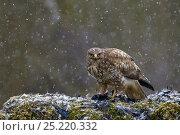Купить «Common buzzard (Buteo buteo) feeding on dead rook (Corvus frugilegus) in snow in winter, Lorraine, France, February», фото № 25220332, снято 23 сентября 2018 г. (c) Nature Picture Library / Фотобанк Лори
