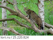 Купить «Scottish Wild Cat (Felis silvestris grampia) climbing tree, captive.», фото № 25220824, снято 21 июля 2018 г. (c) Nature Picture Library / Фотобанк Лори