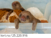 Купить «Hoffmann's Two-toed Sloth (Choloepus hoffmanni) orphaned baby in rehabilitation program at Aviarios Sloth Sanctuary, Costa Rica.», фото № 25220916, снято 15 декабря 2017 г. (c) Nature Picture Library / Фотобанк Лори
