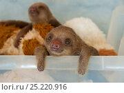 Купить «Hoffmann's Two-toed Sloth (Choloepus hoffmanni) orphaned baby in rehabilitation program at Aviarios Sloth Sanctuary, Costa Rica.», фото № 25220916, снято 21 марта 2018 г. (c) Nature Picture Library / Фотобанк Лори