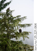 Bald eagles (Haliaeethus leucocephalus) perched in a Sitka spruce (Picea sitchensis) Khutzeymateen Grizzly Bear Sanctuary, British Columbia, Canada, June. Стоковое фото, фотограф Eric Baccega / Nature Picture Library / Фотобанк Лори