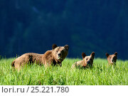 Купить «Female Grizzly bear and her two cubs (Ursus arctos horribilis) in sedge grass, Khutzeymateen Grizzly Bear Sanctuary, British Columbia, Canada, June.», фото № 25221780, снято 13 декабря 2017 г. (c) Nature Picture Library / Фотобанк Лори