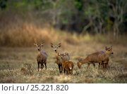 Купить «Calamian Deer (Axis calamaniensis) herd, Calauit island, Province of Palawan, Philipines. Endemic and endangered.», фото № 25221820, снято 27 июня 2019 г. (c) Nature Picture Library / Фотобанк Лори