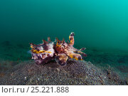 Portrait of a Flamboyant cuttlefish (Metasepia pfefferi) as it prowls across the sand. This species generally prefers to walk, than swim. Lembeh Strait, North Sulawesi, Indonesia. Molucca Sea. Стоковое фото, фотограф Alex Mustard / Nature Picture Library / Фотобанк Лори