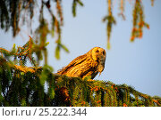 Купить «Female Long-eared owl (Asio otus) with a huge vole in her beak perched in  spruce tree in evening light, Southern Estonia, June.», фото № 25222344, снято 25 мая 2018 г. (c) Nature Picture Library / Фотобанк Лори