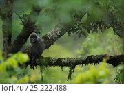 Купить «Phayre's Leaf monkey (Trachypithecus phayrei) Gaoligongshan NP, Yunnan province, China», фото № 25222488, снято 22 января 2019 г. (c) Nature Picture Library / Фотобанк Лори