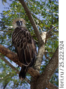 Купить «Philippines Eagle / Monkey-eating Eagle (Pithecophaga jefferyi) captive, Critically endangered.», фото № 25222924, снято 26 июня 2019 г. (c) Nature Picture Library / Фотобанк Лори