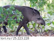 Brazilian Tapir (Tapir terrestris) Mato Grosso, Brazil, South America. Endangered species. Стоковое фото, фотограф Ben Cranke / Nature Picture Library / Фотобанк Лори