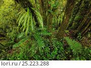 Купить «Subtropical rain forest, Gaoligongshan NP, Yunnan province, China», фото № 25223288, снято 19 сентября 2019 г. (c) Nature Picture Library / Фотобанк Лори