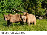 Купить «Two Grizzly bear cubs (Ursus arctos horribilis) feeding on Lyngby's sedges (Carex lyngbyei) an important food source with high crude protein content in...», фото № 25223300, снято 26 апреля 2019 г. (c) Nature Picture Library / Фотобанк Лори