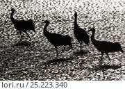 Купить «Black-necked crane (Grus nigricollis) in black and white silhoutte. Napa Lake, Yunnan province, China. Vulnerable species.», фото № 25223340, снято 26 апреля 2019 г. (c) Nature Picture Library / Фотобанк Лори