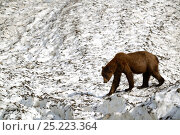 Купить «Grizzli bear (Ursus arctos horribilis) walking on a neve (granular compacted) snow, on a hot sunny spring day , Khutzeymateen Grizzly Bear Sanctuary, British Columbia, Canada, June.», фото № 25223364, снято 25 сентября 2018 г. (c) Nature Picture Library / Фотобанк Лори