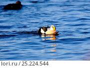 Купить «King Eider (Somateria spectabili ) male feeding on a starfish, Batsfiord Harbour. Northern Norway, March.», фото № 25224544, снято 25 мая 2018 г. (c) Nature Picture Library / Фотобанк Лори