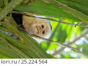 Купить «White-faced Capuchin (Cebus capucinus imitator) looking down though leaves, Osa Peninsula, Costa Rica», фото № 25224564, снято 21 сентября 2019 г. (c) Nature Picture Library / Фотобанк Лори