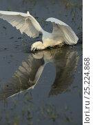 Купить «Little egret (Egretta garzetta) fishing in Pulicat Lake, Tamil Nadu, India, January 2013.», фото № 25224868, снято 24 января 2019 г. (c) Nature Picture Library / Фотобанк Лори