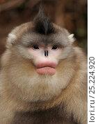 Купить «Yunnan Snub-nosed monkey,(Rhinopithecus bieti) portrait, Ta Chen NP, Yunnan province, China», фото № 25224920, снято 22 января 2019 г. (c) Nature Picture Library / Фотобанк Лори