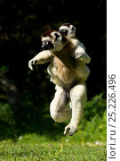 Купить «Verreaux Sifaka (Propithecus verreauxi) jumping across ground with baby on its back, Madagascar», фото № 25226496, снято 17 ноября 2019 г. (c) Nature Picture Library / Фотобанк Лори