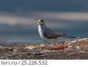 Купить «Noisy Miner (Manorina melanocephala) collecting nest material, Queensland, Australia», фото № 25226532, снято 18 ноября 2017 г. (c) Nature Picture Library / Фотобанк Лори