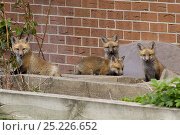 Купить «Four Red fox (Vulpes vulpes) cubs at the entrance to their den near a house, Denver, Colorado, USA, April.», фото № 25226652, снято 21 ноября 2019 г. (c) Nature Picture Library / Фотобанк Лори