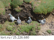 Купить «Four Feral pigeons / Rock Doves (Columba livia) including two lost Racing pigeons with rings on, perched on a ledge on a coastal cliff, Cornwall, UK, April.», фото № 25226680, снято 23 октября 2018 г. (c) Nature Picture Library / Фотобанк Лори