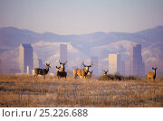 Купить «Mule deer (Odocoileus hemionus), with the Denver skyline and Rocky Mountains in the background, Denver, Colorado, USA, November.», фото № 25226688, снято 19 августа 2018 г. (c) Nature Picture Library / Фотобанк Лори