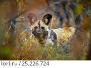 Купить «Portrait of an African wild dog (Lycaon pictus)  wearing a radio collar in dense mopane bushveld, Venetia Limpopo Nature Reserve, Limpopo Province, South Africa, February 2010.», фото № 25226724, снято 22 августа 2018 г. (c) Nature Picture Library / Фотобанк Лори