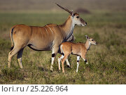 Eland female and calf (Taurotragus oryx). Masai Mara National Reserve, Kenya, July. Стоковое фото, фотограф Anup Shah / Nature Picture Library / Фотобанк Лори