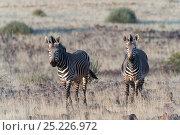 Hartmann's Mountain Zebras (Equus hartmannae) Damaraland, Namibia. Стоковое фото, фотограф Ben Cranke / Nature Picture Library / Фотобанк Лори