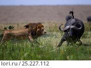 Купить «Male lion (Panthera leo) in confrontation with Cape buffalo (Syncerus caffer) Masai Mara National Reserve, Kenya», фото № 25227112, снято 17 августа 2018 г. (c) Nature Picture Library / Фотобанк Лори