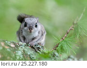 Купить «Siberian flying squirrel (Pteromys volans) portrait, Finland, May», фото № 25227180, снято 17 сентября 2018 г. (c) Nature Picture Library / Фотобанк Лори
