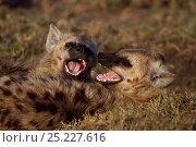 Купить «Spotted hyenas (Crocuta crocuta) playing. Masai Mara National Reserve, Kenya. August», фото № 25227616, снято 11 июля 2020 г. (c) Nature Picture Library / Фотобанк Лори