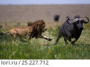 Купить «Male lion (Panthera leo) in confrontation with Cape buffalo (Syncerus caffer). Masai Mara National Reserve, Kenya, July», фото № 25227712, снято 17 августа 2018 г. (c) Nature Picture Library / Фотобанк Лори