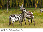 Grant's zebra (Equus burchelli boehmi) males fighting, Nakuru National Park, Kenya. Стоковое фото, фотограф Denis-Huot / Nature Picture Library / Фотобанк Лори
