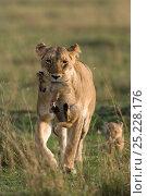 Купить «Lioness (Panthera leo) carrying cub aged 6 weeks, Masai-Mara Game Reserve, Kenya», фото № 25228176, снято 14 октября 2019 г. (c) Nature Picture Library / Фотобанк Лори