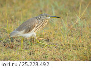 Купить «Indian Pond Heron (Ardeola grayii) Pulicat Lake, Tamil Nadu, India, January 2013.», фото № 25228492, снято 17 июня 2019 г. (c) Nature Picture Library / Фотобанк Лори