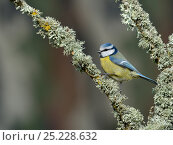 Купить «Eurasian blue tit (Cyanistes caeruleus) on a branch with lichens, West France, March», фото № 25228632, снято 17 августа 2018 г. (c) Nature Picture Library / Фотобанк Лори