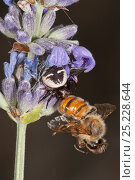 Купить «Crab Spider (Synema globosum) with bee prey, Lake Mezzano (Lago di Mezzano), Monte Romano, Italy, July», фото № 25228644, снято 25 мая 2018 г. (c) Nature Picture Library / Фотобанк Лори