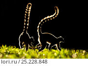 Ring tailed Lemurs (Lemur catta) silhouetted, Madagascar. Стоковое фото, фотограф Andy Rouse / Nature Picture Library / Фотобанк Лори