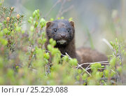 Купить «American Mink (Neovison vison) portrait. Kronotsky Zapovednik Nature Reserve, Kamchatka Peninsula, Russian Far East, July.», фото № 25229088, снято 20 августа 2019 г. (c) Nature Picture Library / Фотобанк Лори
