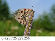 Купить «Parnassian Nomion (Parnassius nomion) butterflies mating,  Central Sikhote-Alin, Primorskiy krai, The Far East, Russia, July 2011», фото № 25229256, снято 14 ноября 2018 г. (c) Nature Picture Library / Фотобанк Лори