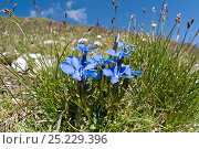 Купить «Spring gentian (Gentiana verna) in flower, Mount Vettore, Sibillini, Umbria, Italy, June», фото № 25229396, снято 22 мая 2018 г. (c) Nature Picture Library / Фотобанк Лори