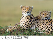 Купить «Cheetah (Acinonyx jubatus) mother and cub, Masai-Mara Game Reserve, Kenya. Vulnerable species.», фото № 25229768, снято 24 февраля 2019 г. (c) Nature Picture Library / Фотобанк Лори