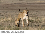 Купить «Lioness (Panthera leo) walking with her cubs, Masai-Mara Game Reserve, Kenya», фото № 25229868, снято 24 февраля 2019 г. (c) Nature Picture Library / Фотобанк Лори
