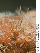Купить «Large red damselfly nymph (Pyrrhosoma nymphula) and freshwater flatworm (Dugesia subtentaculata) in the planktonic stalked colonies (Epistylis) Europe, August, controlled conditions», фото № 25230032, снято 15 октября 2019 г. (c) Nature Picture Library / Фотобанк Лори