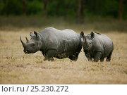 Купить «Black rhino (Diceros bicornis) mother and young, Nakuru National Park, Kenya. Critically endangered species.», фото № 25230272, снято 18 августа 2018 г. (c) Nature Picture Library / Фотобанк Лори