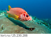 Купить «Long jawed / Sabre squirrelfish (Sargocentrum spiniferum) with cleaner wrasse fish (Labroides dimidiatus) Maldives, Indian Ocean», фото № 25230288, снято 26 марта 2019 г. (c) Nature Picture Library / Фотобанк Лори